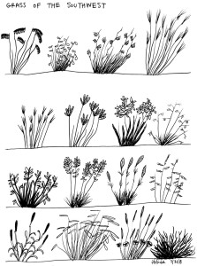 grasses-of-the-southwest